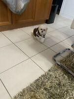 Maltipood baby dog