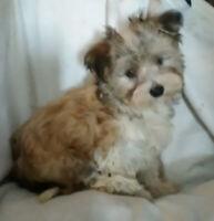 CKC registered HAVANESE pups