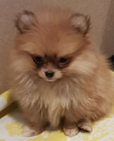 Lovely Purebred Teacup and Pomeranian Puppies