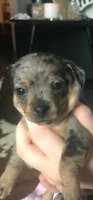 Chiot Chihuahua a vendre