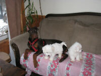 Last boy and girl- Very rare Biton puppies - ready to go!!!!