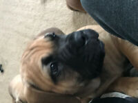 Female English Mastiff Puppy