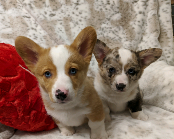 Gorgeous Corgi puppies ready to go.