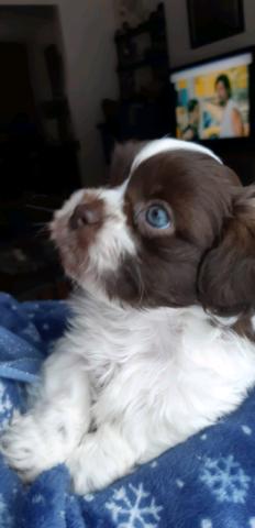 GORGEOUS shihtzu puppies!!