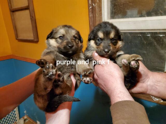 Shepherd/Rottweiler puppies