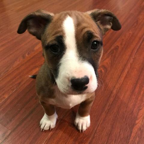 Bulldog x Puppies