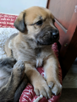Saint Miguel Puppies Available