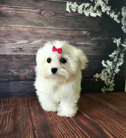 Maltese Puppies trained, ready to go