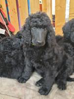 Stunning CKC Reg'd Standard Poodle puppies