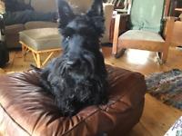Scottish Terrier-Scottie