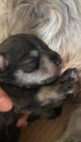Purebred Miniature Schnauzers puppies for sale
