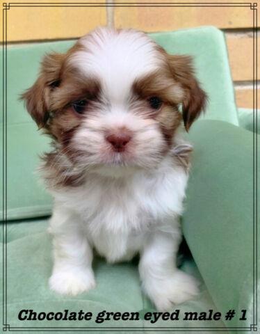 Coton De Tulear Companion pups
