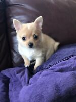 POMCHI Pomeranian x Chihuahua