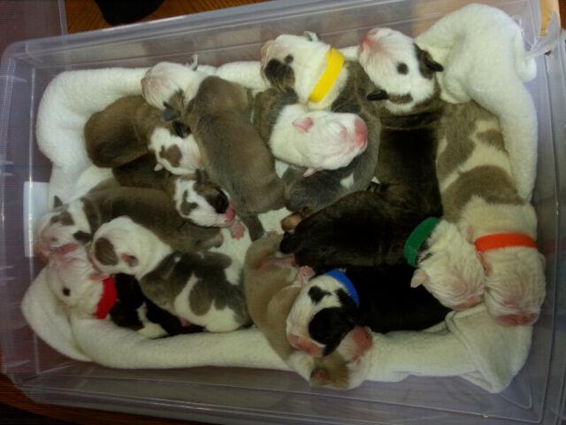 Puppies - Bulldog Puppies Available