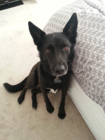 Rehoming 9 yr old Husky mix (FREE)