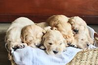 Adorable Purebred Golden Retrievers!
