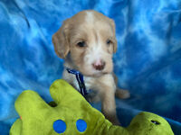 ALCA REGISTERED MULTI-GEN. AUSTRALIAN LABRADOODLE PUPPIES