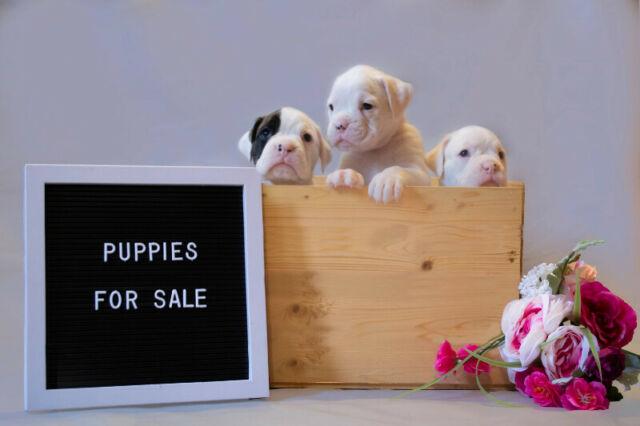 Purebred European Boxer Puppies