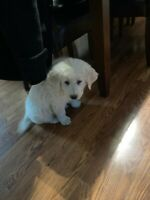 Pure White Great Pyrenees puppy for rehoming