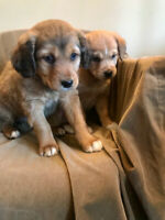 Beautiful Puppies  - 7 weeks old -