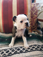 Chiots boston terrier puppies