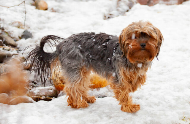 Young female CKC purebred Yorkie, Yorkshire Terrier