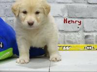Gorgeous Retreiver x lab puppies for sale.