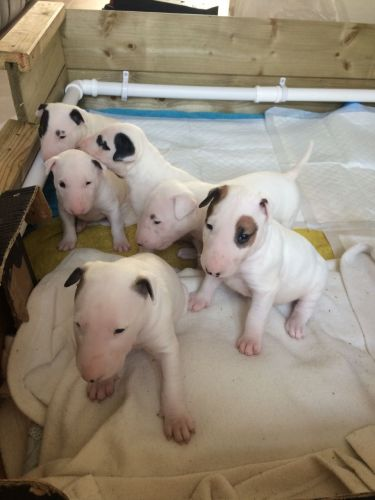 Top Quality Bull terriers Pups