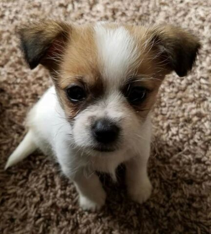 Jack Russell/ chihuahua puppies