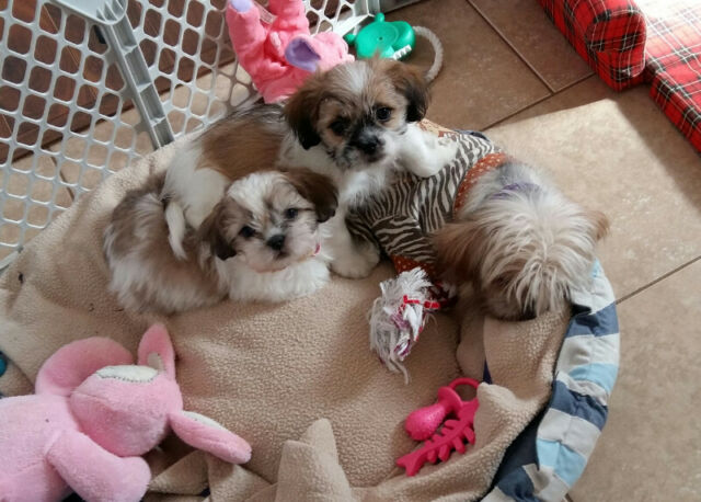 THREE SHIH TZU TERRIER READY FOR NEW HOMES