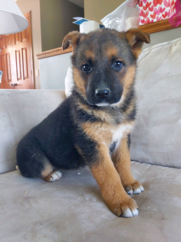 Abaolutely Stunning King Shepherd x Puppies.. Ready to go today!
