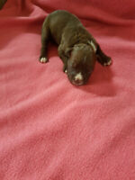 American Johnson blue bulldog purebred puppies 2 Female Left