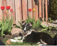 Border Collie / Australian Shepherd Puppy Mix (12 weeks)
