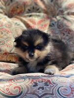 Mac The Pomeranian Puppy