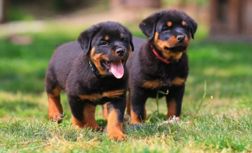 **Home Raised** Kc Reg Rottweiler For sale