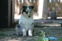 CKC Registered Rough Collie pups