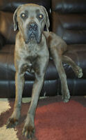 Cane Corso - Experience A Must