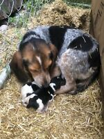Amazing Reg'd Bluetick Beagle Puppies!