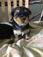 Pure breed yorkie puppies!