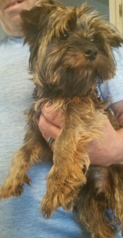 Purebred Yorkshire Terrier - 9 Month Old Male for Sale