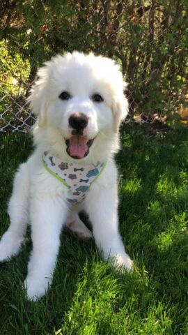 Wanted:                             Looking for a Great Pyrenees/Giant Breed puppy!!!
