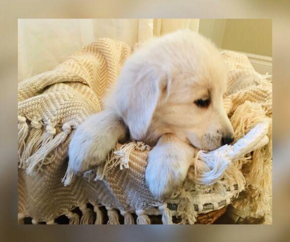 Akbash Puppies ♥️