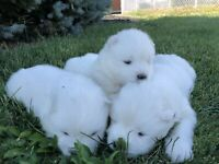 Purebred Samoyed Puppies for Sale!