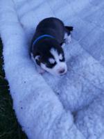 Beautiful Pure Bred Siberian Husky pups for sale.