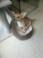 Adorable 6 Month Old 5.5lb Chihuhua