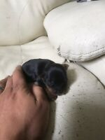 Mini yorkie pups
