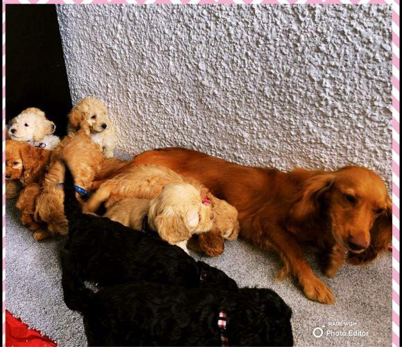 Beautiful  Litter of cute Cockapoo Puppies