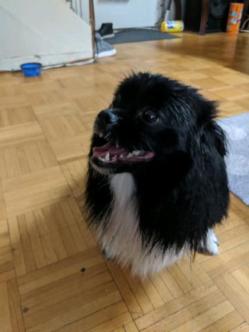 Pomeranian 1 yr 8 months