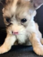 Toy Merle Morkie pups