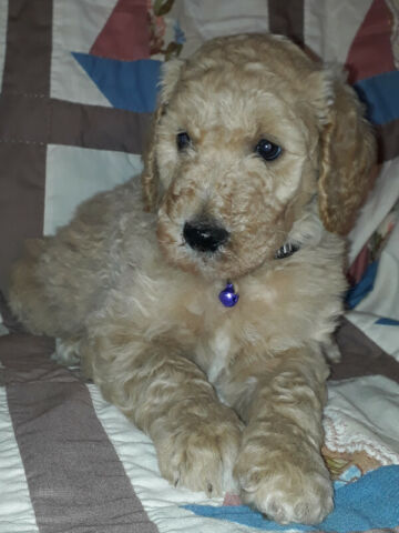 4 Goldendoodle F1B puppies available.-$2000 (for male)